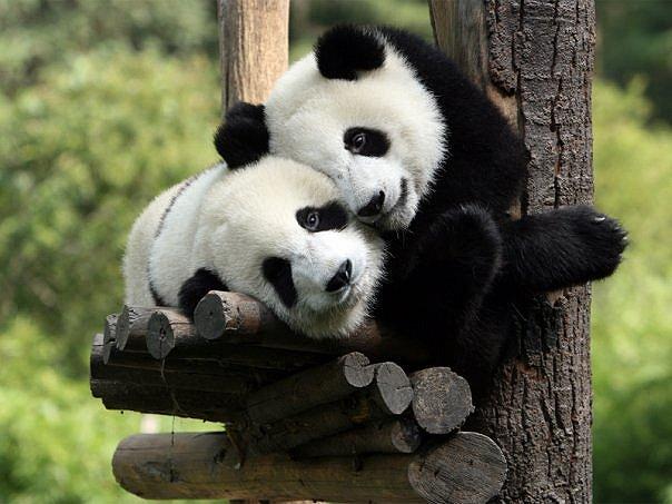 Нажмите на изображение для увеличения Название:  панды.jpg Просмотров: 163 Размер:58.4 Кбайт ID:359067