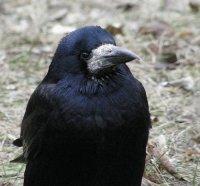 Птаха Грач